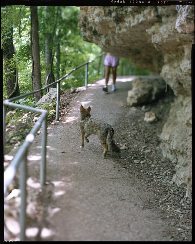 Coyote on Jogger